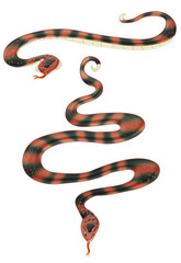 coral snake in two poses.clipping path included