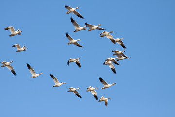 Snow Geese flying in Lancaster County,Pennsylvania,USA.