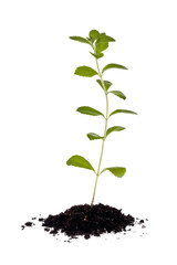 Stevia Plant (Stevia rebaudiana)