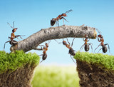 teamwork, team of ants costructing bridge - Fine Art prints