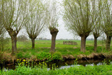 Pollard willows in landscape