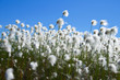 Cotton grass against a blue sky