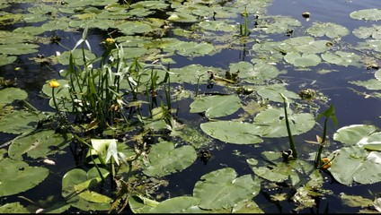 Water lilies growing in a river.