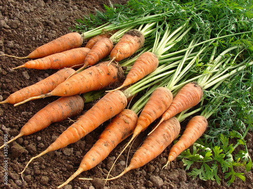 some fresh carrots with tops