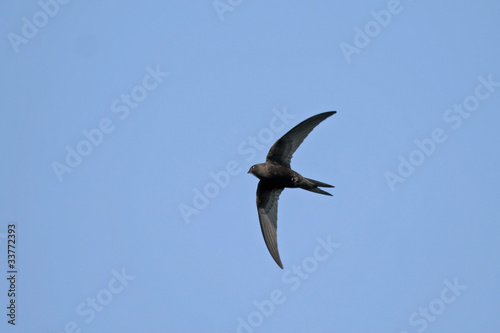 Swift flight (Common Swift / Apus apus)