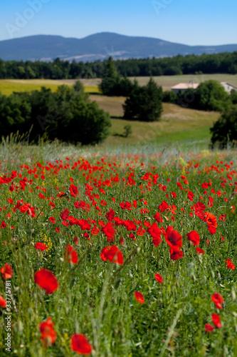 Foto op Canvas Klaprozen Coquelicots sur une colline
