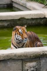 tigre in acqua