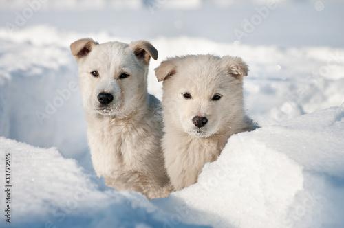 Fototapeten,hund,hund,schnee,adorable