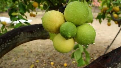 Racimo de limones en el limonero