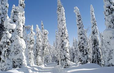 europa, finlandia, kuusamo, lapponia, bosco innevato