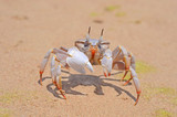 ghost crab moving on a sand