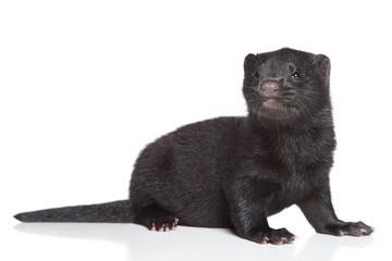 American Mink 1 month