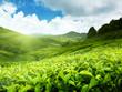 Tea plantation Cameron highlands, Malaysia - 33797376