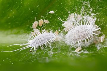 Läuse sitzen auf einem Blatt