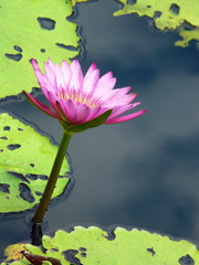 Lotus and Lilypads