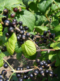 ripe berries of the blackcurrant