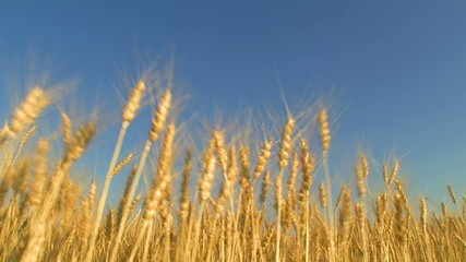 harvesting wheat field blue sky