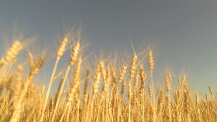 harvesting wheat field