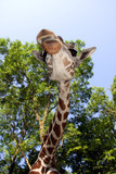 Reticulated giraffe (Giraffa camelopardalis reticulata) poster