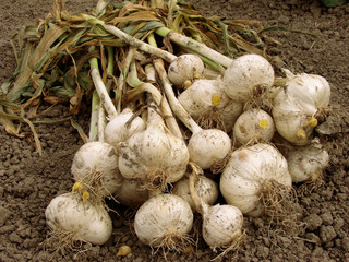 leek bulbs harvest