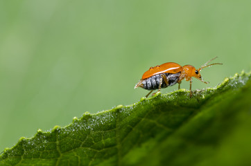 fresh orange beetle on green leaf