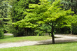 Japanese maple tree in a park