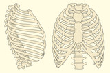 vector illustration of human rib cage with spine