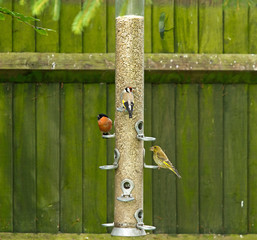 Bullfinch, Goldfinch,Greenfinch on feeder