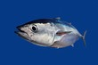 Bluefin tuna Thunnus thynnus fish isolated on blue