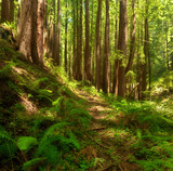 A lush, undisturbed Redwood forest Central California