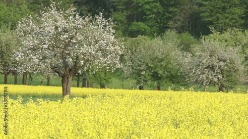 Canola field swaying with the wind with a blossoming apple tree