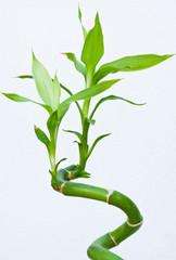 bambou bonheur