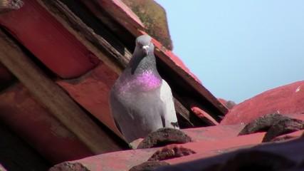 colombo grigio