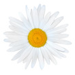 White Daisy with Yellow Center Isolated on White