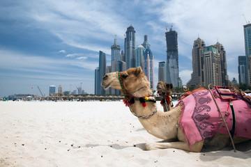 Camel. © Cherkas