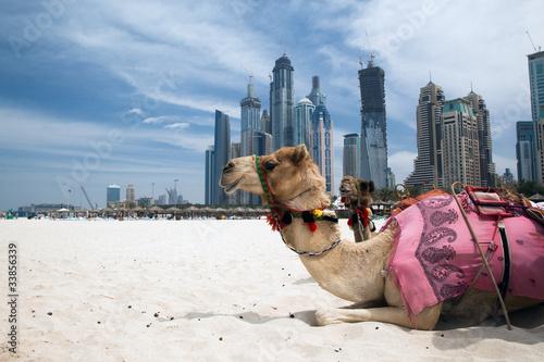 Tuinposter Kameel Camel.