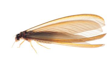 termite white ant