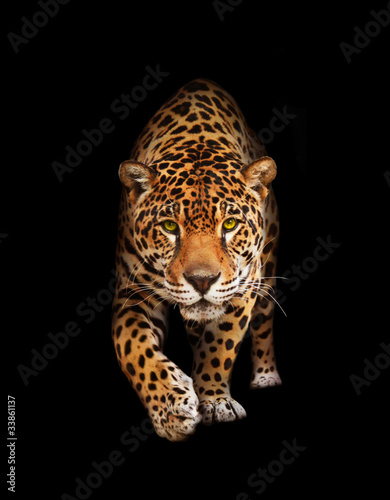 Jaguar in darkness - front view, isolated