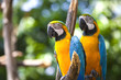 Two blue-and-yellow macaw - ara parrots.