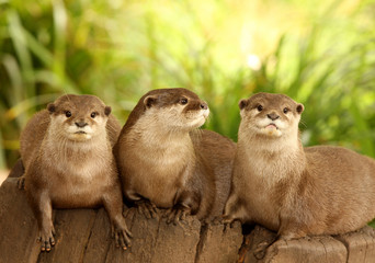 A trio of European Otters on a tree stump