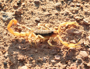 Sunbathing Scorpion
