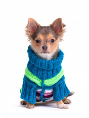 Chihuahua puppy dressed with colorful sweater