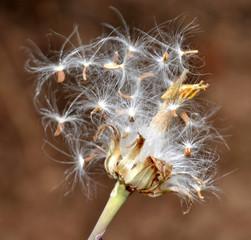 fleurr de pissenlit