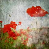 grunge poppies background - 33869700
