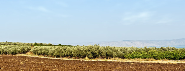 Grove of the  olive trees in  Israel .