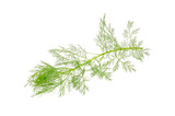 Southernwood (Artemisia Abrotanum) Branch Isolated on White