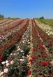 champ de rosiers