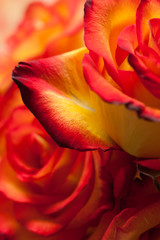 Red-yellow roses macro
