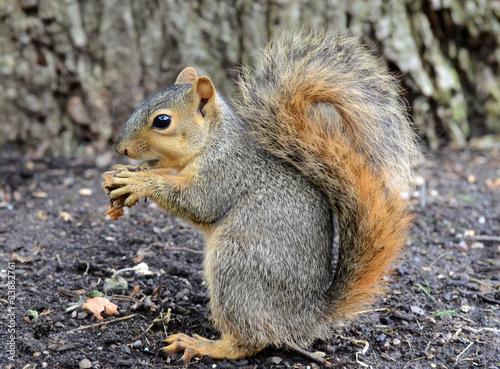 Aluminium Eekhoorn squirrel eating peanut