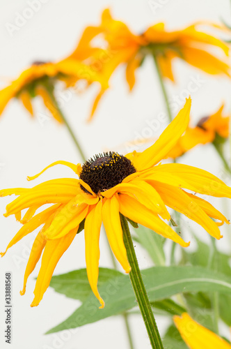Yellow Rudbeckia hirta in flower garden